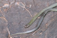Pseudechis australis   Mulga Snake, Kalgan Pool