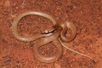 Pseudonaja mengdeni | Western Brown Snake, inland form of Pseudonaja nuchalis, near Daigaranga