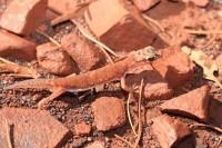 Rhynchoedura ornata   Western Beaked Gecko, Karijini N.P.