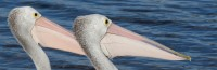 Pelecanus conspicillatus   Australian Pelicans prepare to hunt, Walpole