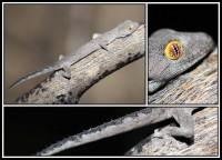 Strophurus spinigerus   Soft Spiny-tailed Gecko, south of Geraldton