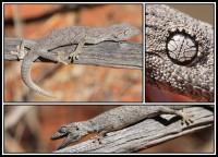 Strophurus strophurus   Western Spiny-tailed Gecko, near Billabong