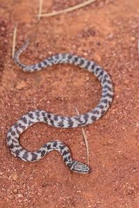 Suta fasciata   Rosen's Snake, grey form, Paynes Find