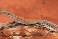 Varanus gilleni   Pygmy Mulga Monitor, Sandfire