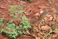 Varanus gouldii   Gould's Goanna, east of Karijini National Park