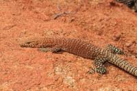 Varanus pilbarensis   Northern Pilbara Rock Monitor, male, east of Karijini National Park