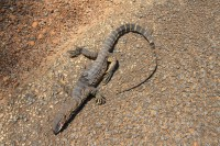 Varanus rosenbergi | Heath Monitor, death male, near Rocky Gully.